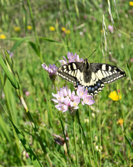 Macaone butterfly resting on a flower of wild onion. Sardinia, Mediterranean.