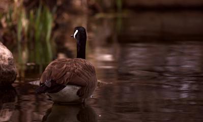 Peaceful Goose