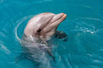 The yong Bottlenose dolphin is swimming in red sea