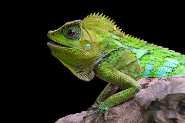 Close up of green iguana sitting on branch of tree against black background