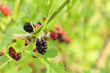 Wild mulberries ripening on a leafy branch. Ripe, black mulberry with other colorful berries in the background. Concepts of food, fresh, gardening