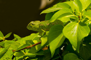 green chameleon looks sideways and  he hides himself camouflaged in the thick vegetation of branches and plants