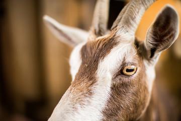 Goat eyes closeup face farm