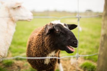 Single Black Sheep bleating