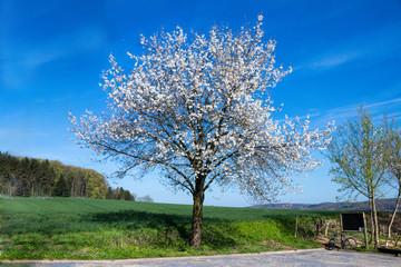 Kirschblüte an einem alleinstehenden Kirschbaum im Frühling