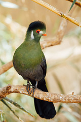 green turaco bird, closeup view