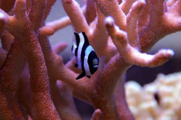 Four Stripe Damselfish - (Dascyllus melanurus)