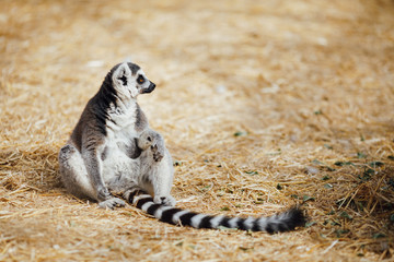 relaxed ring-tailed lemur