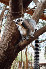 ring-tailed lemur on a tree