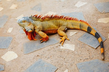 reddish colored green iguana, Tenerife, Spain
