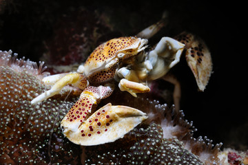 Porcelain crab / Oshimae porcelain crab is sitting in anemone, Panglao, Philippines