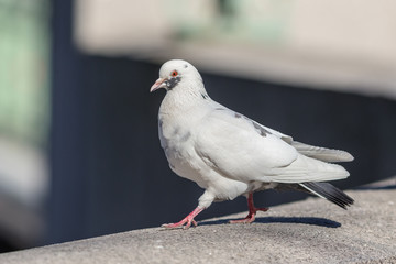 white pigeon in the foreground
