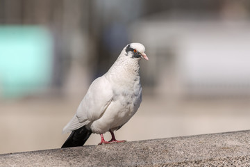 white pigeon close up