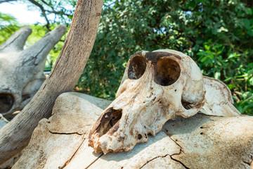 Babbon skull. Lake Manyara National Reserve. Tanzania.
