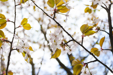 Цветущая вишня, сакура - бледно-розовые цветы на ветке