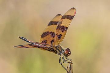 Dragonfly Halloween Pennant (Celithemis eponina)