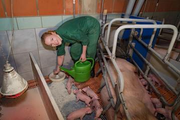 Schweinezucht, junge Landwirtin bringt neugeborenen Ferkeln zusätzliche Milch zur Ergänzung.