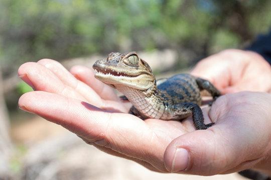 süßes Baby Krokodil oder Kaiman sitzt auf einer Handfläche