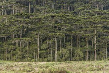 Araucaria pine trees (Brazilian Pines) in Cambara do Sul, Rio Grande do Sul, Brazil