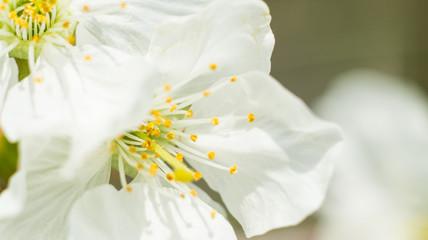 Photo sur Aluminium Narcisse Macro Cherry blossom springtime flowers