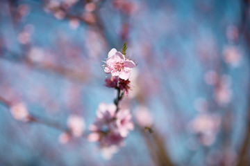 Peach flowers in blossoms