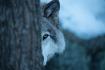 Poster Wolf Peek A-boo with a Timber Wolf