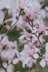 Flowering pink magnolia tree in spring
