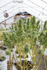 Legal Hot House Indoor Cannabis Grow Farm, Veneta, Oregon, USA