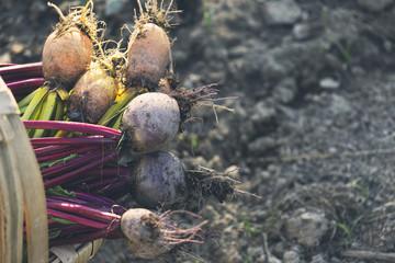 Basket filled with freshly picked beets, Estremoz, Alentejo, Portugal