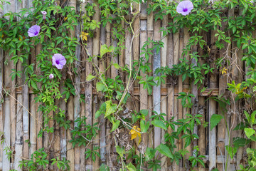 Full frame background of an old and aged bamboo fence with flowering vine plant.