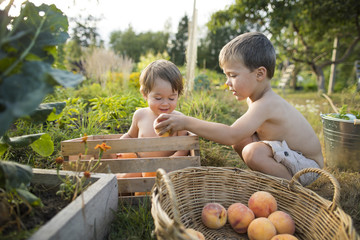 Two little shirtless boys playing in garden and collecting peaches, Langley, British Columbia, Canada