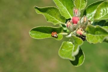 Biedronka w wiosennym sadzie