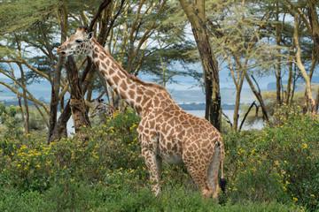 Giraffe in Kenya, Lake Naivasha