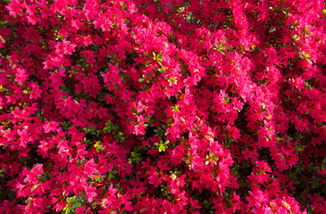 Tokyo,Japan-April 19,2018: Flower carpet of azalea in Japan
