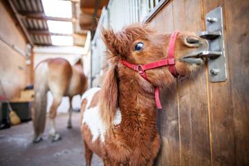 Portrait of a Shetlandpony in a stable