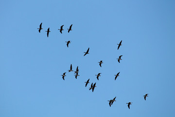 Flying wild Greater white-fronted geese (Anser albifrons) and barnacle geese (Branta leucopsis) against clear blue sky. Flock on spring migration