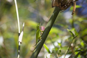 Anole in Territorial Display