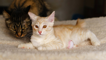 Mom is a cat and a cute red kitten. Breed Kurilian Bobtail. Hypoallergenic breed of cats