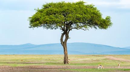 Acacia Standing Alone