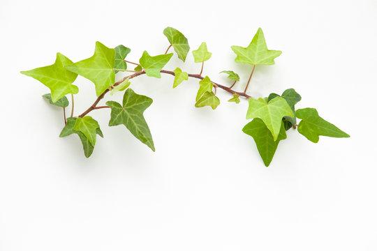 ivyのフレーム