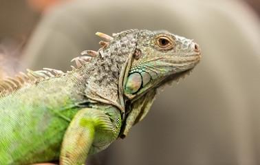 Big lizard in a petting reptile zoo