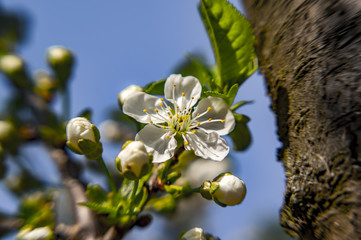young cherry blossom in spring season