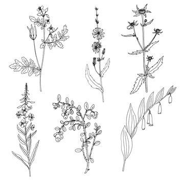 Ink drawing plant of celandine