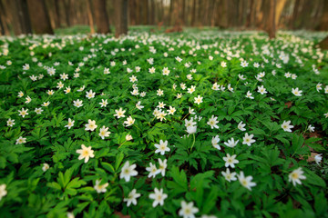 Abstract sunny beautiful spring background. Selected focus. Wood with spring flowers. White flowers anemones cover green meadow