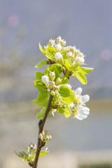 Jeune poirier en fleur au printemps