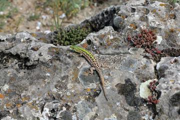 Крымская ящерица  (Podarcis tauricus) греется на солнце