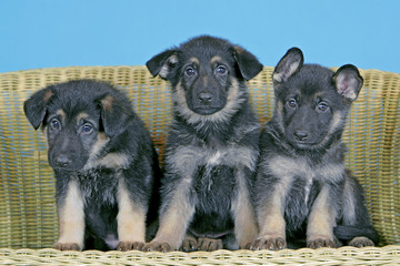 Three eight week old German Shepherd puppies sitting together on wicker basket, inside blue backdrop.