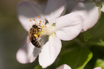 Bee on a gentle white flowers of cherry tree - prunus cerasus