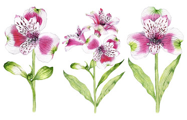 Set of hand drawn watercolor Alstroemeria flower