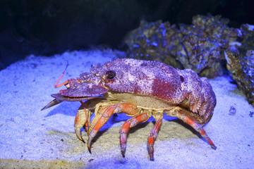 Slipper Lobster walking in deep water